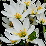 Mytree White Rain Lily Bulbs Zephyr Lilies - Zephyranthes Candida - 12 Large Flower Bulbs