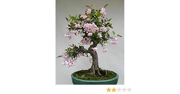 20 ORGANIC JAPANESE QUINCE TREE SEEDS Chaenomeles japonica NON GMO Bonsai