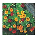 Seeds Flowers Nasturtium Tropaeolum majus nanum Alaska Mixed. Short from Ukraine 1.5 Gram
