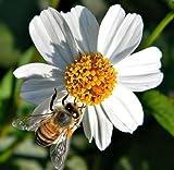 Spanish Needles Bidens Pilosa ROMERILLO MEDICINAL butterflies garden 200 seeds