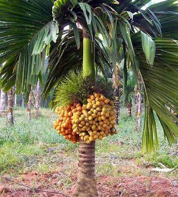 Creative Farmer Live Palm Plant Areca Catechu Hybrid Dwarf Arecanut 2 Ft Betel Nut Indoor Compatible Tree Garden Plant(1 Healthy Live Plant) (B07PR7P2YM) Amazon Price History, Amazon Price Tracker