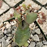 Euphorbia cooperi Cactus Cacti Succulent Real Live Plant