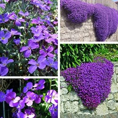 Ground cover plants amazon 100pcs purple flower aubrieta hybrida seeds garden perennial ground cover plant mightylinksfo