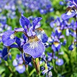 Siberian Iris Blue King (3 bulbs), 2 year division, Bloom, Early and mid-spring