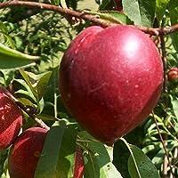 Nectarina árbol - Maceta 26cm. - Altura aprox. 1'20m. - Planta viva - (Envíos sólo a Península)
