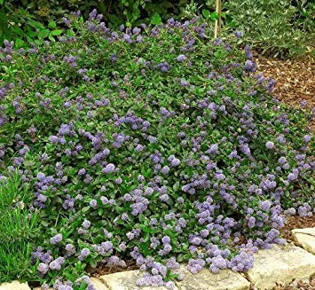 ANVIN Germination Seeds:Squaw Carpet Seeds 15 Pcs(Ceanothus Prostratus) Groundcover Seeds (Best Ceanothus Ground Cover)