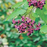 Clerodendrum trichotomum VAR fargesii - Glorybower, 3 Plants in 9cm Pots