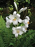 1 Bulb of Lilium Species Candidum - Lily