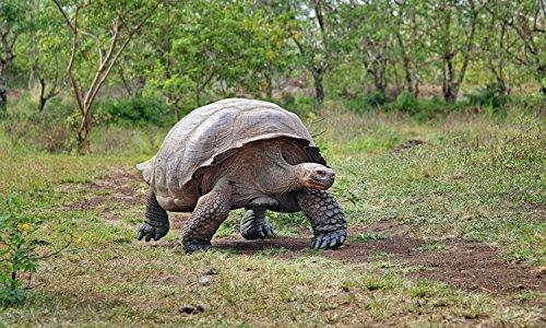 Galapagos Tortoise Largest Australian Reptile Wild Nature Art Poster 27