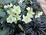 The Christmas Rose plant: Helleborus niger