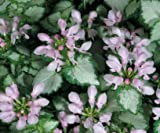 Pink Chablis Lamium Plants Proven Winners Quart Pot