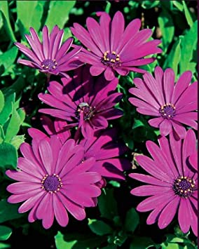 Kisshes Seedhouse 30pcs Rare Marguerites Graine Fleur