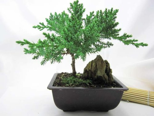 9GreenBox - Juniper Bonsai Tree with Mountains