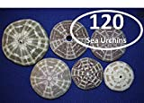 Salty Pelican Sea Sea Urchin Shells (Set of 120) ~ 2 1/2'' to 4'' Range, Gator Alfonso Alphonso, Bubble wrap Packed, Volume Priced