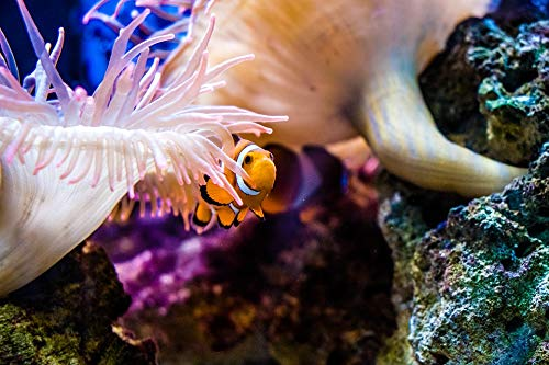 Home Comforts Canvas Print Clown Fish Anemonefish Reef Nemo Aquarium Fish Vivid Imagery Stretched Canvas 32 x 24