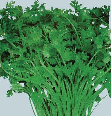 Organic Mexican Specialty Cilantro 100+ Seeds