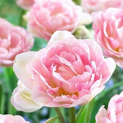 10 Angelique Tulip Bulbs-- Double Late, New!!