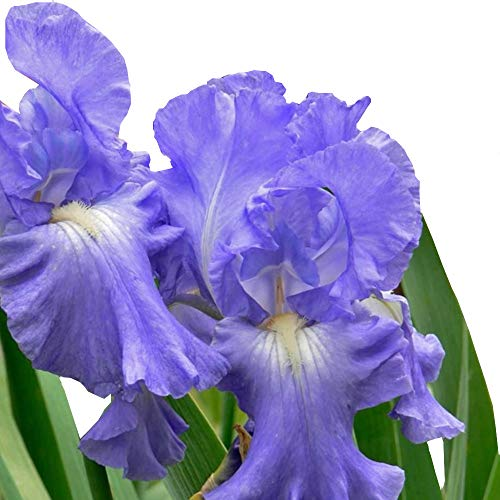 (Bearded Iris Victoria Falls Blue - Hardy Healthy Perennial Rooted 4