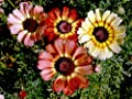 Painted Daisy Tri Color Mix Seeds Choose Packet Size for Growing Red White Pink Yellow Flowers bin11