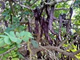 CAROB TREE St John's Bread?12 SEEDS?Ceratonia siliqua?Ornamental Tree?Bonsai?
