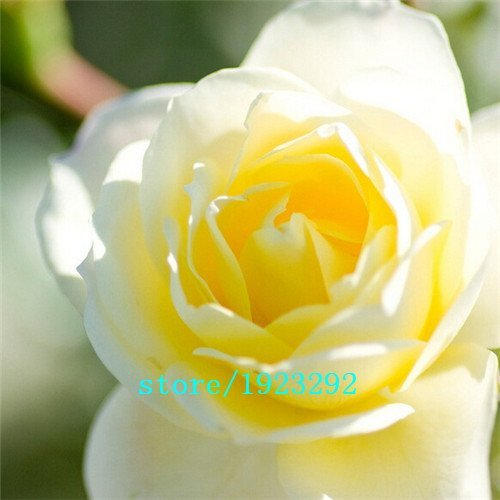 China Yellow Roses - 2015 HOT SALE Free shipping Garden Bonsai Planting China Yellow Rose Flower Seeds 100pcs Semillas Dancing Queen Gift For Lover