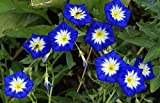 Dwarf Tri-Color Morning Glory - 10 Seeds, 750 mg