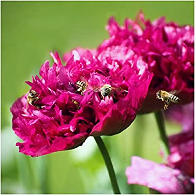 Package of 500 Seeds, Purple Peony Poppy (Papaver paeoniflorum) Open Pollinated Seeds By Seed Needs