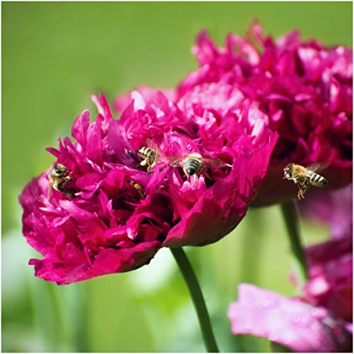 Package of 500 Seeds, Purple Peony Poppy (Papaver paeoniflorum) Open Pollinated Seeds By Seed Needs (Poppy Peony)