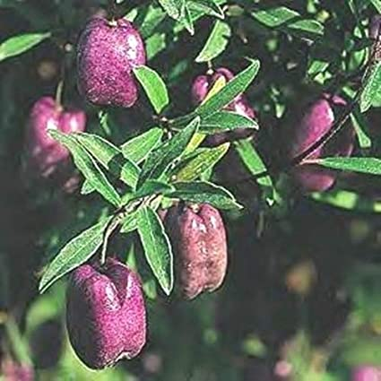 ScoutSeed Billardiera longiflora (Purple Apple Berry) - 20 Semillas. Trepador de Tasmania exotico