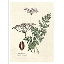 Botanical Print of Caraway Seed Plant From Culinary Herbs Group, 7 X 10 Inches, High Quality Giclee Print