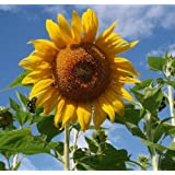David's Garden Seeds Sunflower Mammoth Grey Stripe OS519 (Yellow) 50 Open Pollinated Seeds