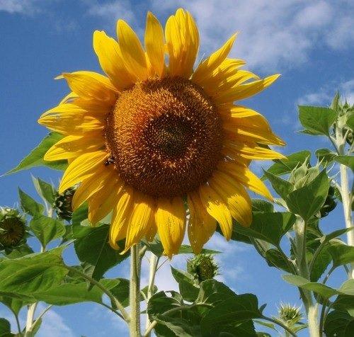 David's Garden Seeds Sunflower Mammoth Grey Stripe OS519 (Yellow) 50 Open Pollinated Seeds -