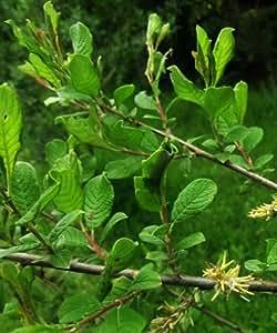 Árboles por Post con asas Sauce árboles (Salix Aurita)