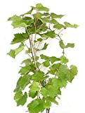 Vanessa Grape Vines - Red Seedless Grapes - 2 yr Old Healthy Bare Root Plants-3 pack