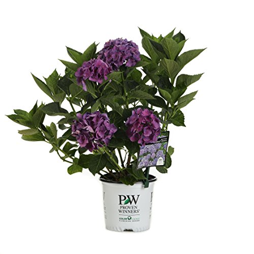 1 Gal. Cityline Venice Bigleaf Hydrangea (Macrophylla) Live Shrub, Pink, Blue and Green Flowers by Proven Winners (Image #11)