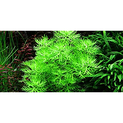 Hottonia palustris - Live Aquarium Plant: Pet Supplies
