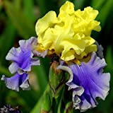 Iris germanica Edith Wolford - 1 plant