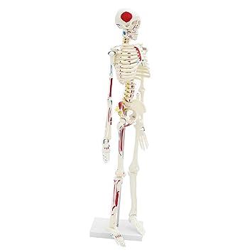 B Blesiya 85cm Modelo Esquelético de Cuerpo Humano Herramienta de ...