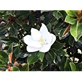 Amazon 3 gallon confederate jasmine produces clusters of 3 gallon little gem dwarf magnolia elegance and beauty huge fragrant white mightylinksfo
