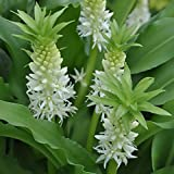 White Dwarf Pineapple Lily Tiny Piny Pearl, 3 Large Eucomis Bulbs- Gorgeous Tropical Blooms!