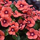 Vinca Tattoo Tangerine 25 Vinca Seeds New for 2019