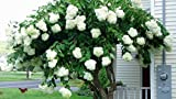 Pee Gee Hydrangea Paniculata (1-2 feet tall in full gallon containers) Large white blooms