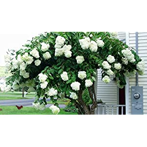 Pee Gee Hydrangea - Live Plant - Shipped 1 to 2 Feet Tall by DAS Farms