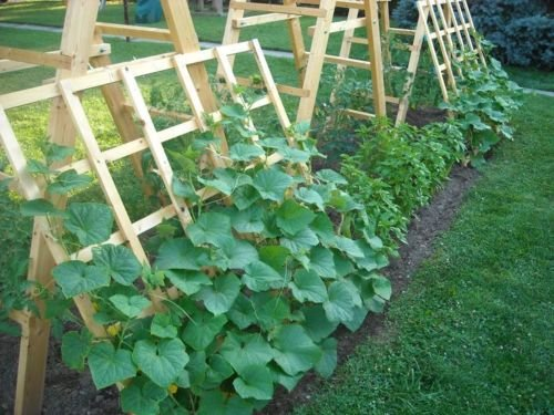 - New SPACEMASTER BUSH CUCUMBER Patio Container Hanging Basket Spring/Fall Garden 35+ Seeds