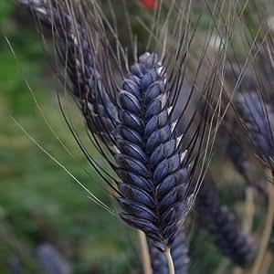 Wheat Black Knight Ornamental Grass Seeds (Triticum Aestivum) 20+Seeds
