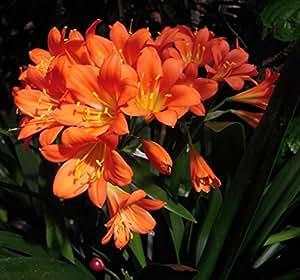 wideleaf naranja Clivia 5semillas–Casa Planta