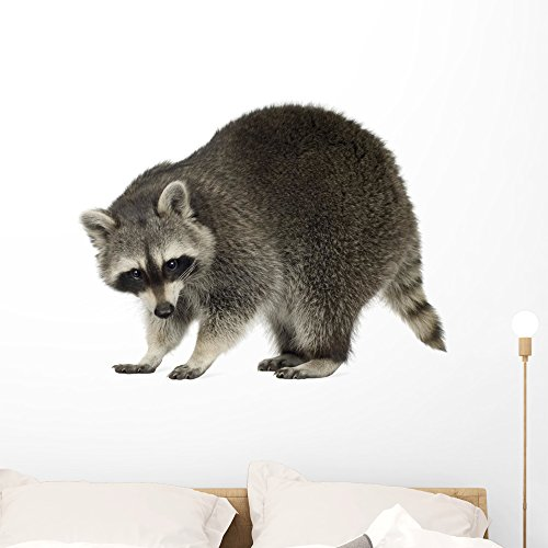 Wallmonkeys Young Raccoon Wall Decal Peel and Stick Animal Graphics (36 in W x 29 in H) WM145580