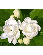 Glamaours Jasmine Plant 25 Seeds Indoor/Outdoor Herbal Plant with Tiny White Flowers
