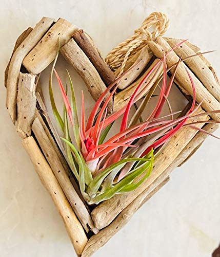 Amazon Com Driftwood Wreath And Living Air Plants Handmade