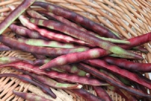 Mississippi Purple Purple Peas (Southern) Peas , A Peas,Great Flavor, Shell pea
